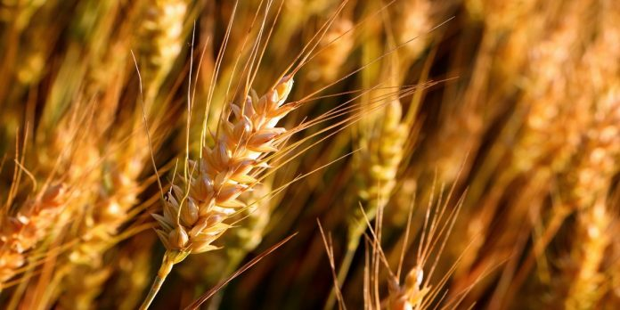 Wheat crop - The News Today - TNT