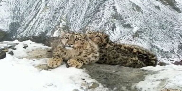 Snow leopard cubs spotted in Khunjerab National Park Pakistan