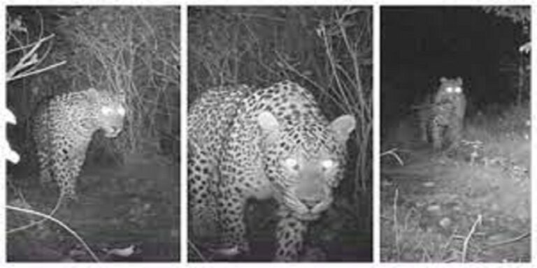 Three families of common leopard spotted in Margalla Hills Islamabad